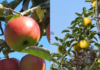 口内町のりんご